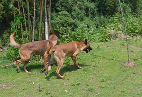 南充军犬训练